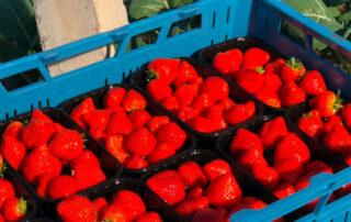 aardbeien uit de kas